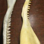 Group Of Two Whale Jawbones, 19th Century. Sold For $9,750.